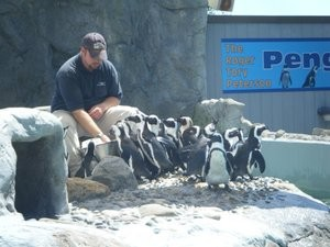 Mystic Aquarium employee working with penguins